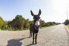 Funny donkey looking at the camera. Cyprus, Karpaz National Park Wild Donkey Protection Area Royalty Free Stock Image