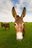 Funny donkey on the meadow. Portrait of funny donkey on the meadow Royalty Free Stock Photo