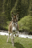 Funny donkey near river in  Tien Shan Stock Photos