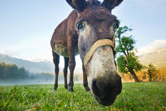 Funny donkey nose closeup. Donkey nose closeup on the morning field in the mountains Royalty Free Stock Photo