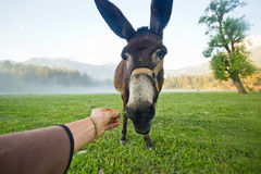 Funny donkey nose closeup. Donkey nose closeup on the morning field in the mountains Stock Images