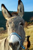 Funny donkey portrait. Funny donkey in a meadow watching you as a curious thing Stock Photos