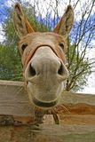 Funny donkey portrait. Face of brown donkey on the farm Royalty Free Stock Photos
