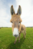 Funny donkey. Portrait of  hairy funny donkey on the meadow Royalty Free Stock Photo
