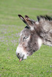 Funny donkey puts out a tongue. Portrait Stock Photo