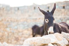 Funny donkey on road in greek mountains. The best photo of donkey in the world. Funny donkey on road in mountains. Grey donkey in field Royalty Free Stock Photography