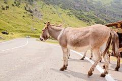 Funny donkey on road. Funny donkey on Transfagarasan road in Romanian mountains Stock Photos