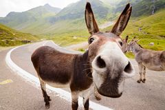 Funny donkey on road. Funny donkey on Transfagarasan road in Romanian mountains Stock Images