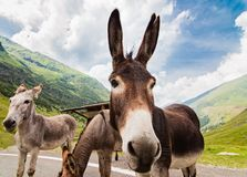 Funny donkey on road. Funny donkey on Transfagarasan road in Romanian mountains Stock Photography