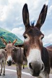Funny donkey on road. Funny donkey on Transfagarasan road in Romanian mountains Royalty Free Stock Image