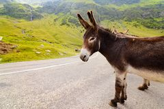 Funny donkey on road. Funny donkey on Transfagarasan road in Romanian mountains Stock Image