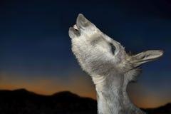 Funny donkey singing a sunset Royalty Free Stock Photography