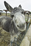 Funny Donkey Stock Photography