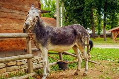 Funny donkey tied. In the yard, close up view Royalty Free Stock Image