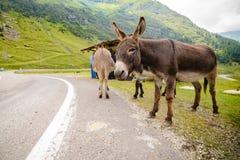 Funny donkey on Transfagarasan Road. In Romanian mountains Royalty Free Stock Photos