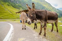 Funny donkey on Transfagarasan Road Stock Photos