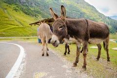 Funny donkey on Transfagarasan Road. In Romanian mountains Stock Photos