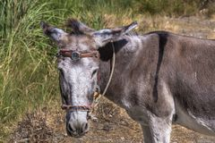 Funny donkey with watch on the head, Albania, Balkan. Funny grey donkey with watch on the head in front of a grean meadow in Albania, frontal view of the donkey` Royalty Free Stock Image