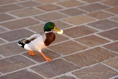 Funny drake runs with food. This is quite funny picture of a running drake somewhere in the city. The bird is holding some food: bread or something in it`s beak Royalty Free Stock Images