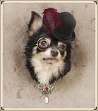 Funny dresed chihuahua Stock Photo