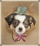 Funny dresed chihuahua Royalty Free Stock Photos