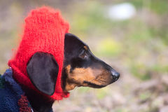 Funny dressed Dachshund dog with red hat on head Royalty Free Stock Photography