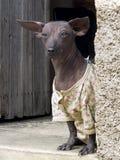 Funny dressed dog . Royalty Free Stock Image