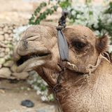 Funny Dromedary Camel closeup Stock Photos