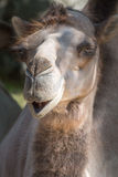 Funny dromedary portrait Royalty Free Stock Photo