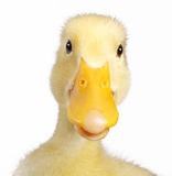 Funny duck. Isolated on white stock photos