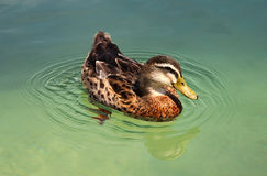 Funny duck Stock Photography