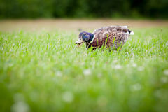Funny duck eating grass. Crazy bokeh Stock Image