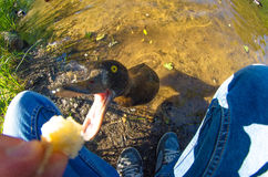 Funny duck eats out of hand by the lake.  Royalty Free Stock Image