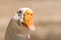 Funny duck portrait against a blurred background. Royalty Free Stock Photo
