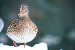 Funny duck in whinter snow. Funny brown duck in whinter snow Stock Image