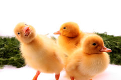 Funny duckling Royalty Free Stock Photo