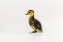 Free Funny Duckling Of A Wild Duck On A White Background Stock Images - 96519714