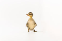 Funny duckling of a wild duck on a white background.  Royalty Free Stock Photos