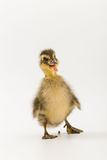 Funny duckling of a wild duck on a white background.  Stock Photos