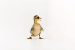 Funny duckling of a wild duck on a white background.  Royalty Free Stock Photo