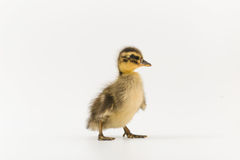 Funny duckling of a wild duck on a white background.  Stock Photography