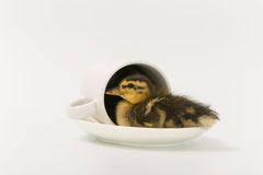 Funny duckling of a wild duck on a white background.  Stock Images