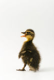 Funny duckling of a wild duck on a white background.  Royalty Free Stock Images