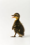 Funny duckling of a wild duck on a white background.  Royalty Free Stock Image
