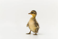 Funny duckling of a wild duck on a white background.  royalty free stock photography