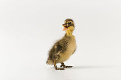 Funny duckling of a wild duck on a white background Royalty Free Stock Images