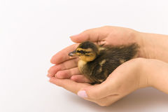 Funny duckling of a wild duck on a white background Royalty Free Stock Photo