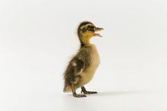Funny duckling of a wild duck on a white background Stock Images
