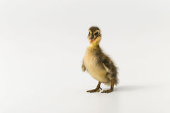 Funny duckling of a wild duck on a white background.  Stock Photo