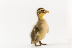 Funny duckling of a wild duck on a white background Stock Photos